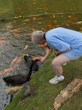Woman feeding Swans Stock Photos