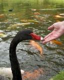 Woman feeding Swans Royalty Free Stock Photos