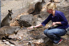 Woman Feeding Wallabies Stock Image