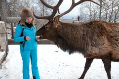 Woman feeds Maral A large Siberian deer with big horns in winter. On a farm royalty free stock photos
