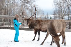 Woman feeds Maral A large Siberian deer with big horns in winter. On a farm royalty free stock images