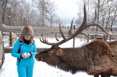 Woman feeds Maral A large Siberian deer with big horns in winter. On a farm stock photo
