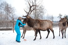 Woman feeds Maral A large Siberian deer with big horns in winter. On a farm stock images