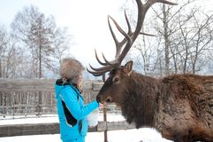Woman feeds Maral A large Siberian deer with big horns in winter. On a farm royalty free stock photography
