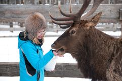 Woman feeds Maral A large Siberian deer with big horns in winter. On a farm royalty free stock photo