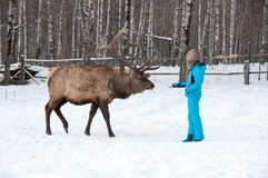 Woman feeds Maral A large Siberian deer with big horns in winter. On a farm stock photos