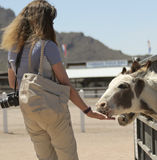A Woman Feeds Sicilian Donkeys, Rooster Cogburn Ostrich Ranch, P royalty free stock photo