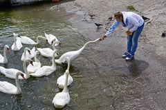 Woman feeds swans on lake Royalty Free Stock Photos