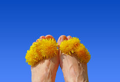 Woman feet with dandelion blossoms between the toes, against blu Royalty Free Stock Photography