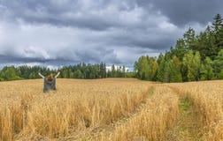 Woman among field of ripening wheat Royalty Free Stock Photo