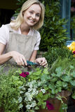 Woman florist or gardener tending to pot plants, pruning and shaping Stock Photos
