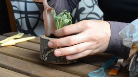 The woman florist plants succulent to a wooden flowerpot. close-up. angle view