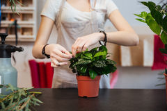 Woman florist taking care of plant in flowerpot. Closeup of young woman florist taking care of plant in flowerpot in flower shop Royalty Free Stock Image
