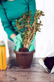 Woman with flower in pot, spring replanting flowers Royalty Free Stock Photo