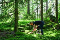 Woman in forest. Woman picking wild blueberries in forest Royalty Free Stock Photography