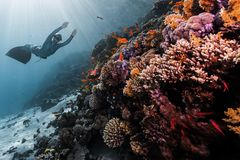 Woman free diver. Glides in monofin in the depth over the colorful coral reef stock image