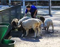 Woman freeder feeding sheep in paradise country aussie farm,gold coast,australia Stock Photo
