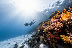 Woman freediver. Woman free diver glides in monofin in the depth towards the colorful coral reef royalty free stock images