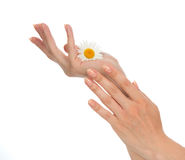 Woman french manicured hands with fresh camomile daisy flower Royalty Free Stock Images