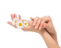 Woman french manicured hands with fresh camomile daisy flower Royalty Free Stock Image