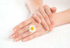 Woman french manicured hands with fresh camomile daisy flower Stock Photos