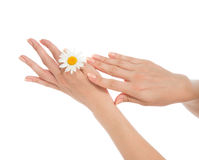 Woman french manicured hands with fresh camomile daisy flower i Royalty Free Stock Images