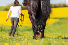 Woman with a Friesian horse on a field. Picture of a woman with a Friesian horse on a field royalty free stock photos