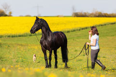 Woman with a Friesian horse on a field. Picture of a woman with a Friesian horse on a field royalty free stock images