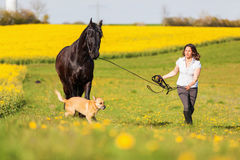 Woman with a Friesian horse. Woman walking with a Friesian horse at the longe line on a meadow royalty free stock photos