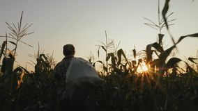 Woman with full bag of corn in the field. Steadicam shot of woman farmer going with a full bag of corn in the field at sunset. Real working process of picking stock video footage