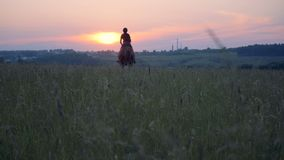 Horsewoman gallops through a field, back view. A woman gallops on a horse on a big field on a sunset background stock video