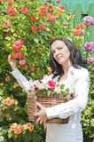 Woman in garden with basket full of roses Royalty Free Stock Image