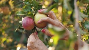Hands picking apples. Woman in garden collects apples stock video footage