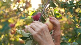 Woman picking an apple. Woman in garden collects apples stock footage