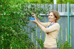 The woman in garden harvesting berries of mespilus Royalty Free Stock Photo