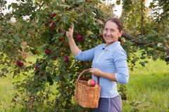 Woman in garden  picking apples Royalty Free Stock Photography