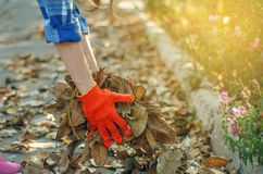 Woman gardener cleans leaves in the garden sun nature autumn stock photography