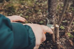 A woman gardener cuts a clip of wood for vaccination with a sharp knife royalty free stock photos