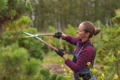 Woman gardener cuts pine using secateurs Stock Photography