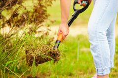 Woman remove tree from backyard, digging soil with shovel. Woman gardener digs ground soil with shovel for removal withered dried thuja tree from her backyard Stock Photo