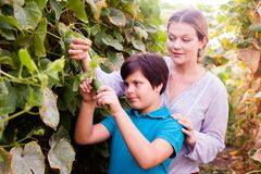 Woman gardener picking cucumbers with little boy together in sunny garden