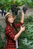 Woman gardener picking grape Stock Photo