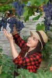 Woman gardener picking grape Stock Images
