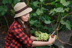 Woman gardener picking grape Stock Photography