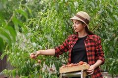 Woman gardener picking peaches Royalty Free Stock Image