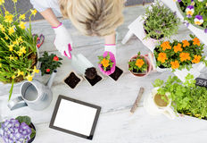 Woman gardener  planting flowers and using tablet Stock Photography