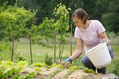 Woman gardener planting salad and mulching it. Woman gardener planting salad and beetroot and putting a straw mulch around it to fertilize and protect it from Stock Images