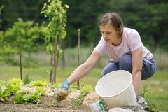 Woman gardener planting salad and mulching it. Woman gardener planting salad and beetroot and putting a straw mulch around it to fertilize and protect it from royalty free stock photography
