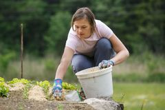 Woman gardener planting salad and mulching it. Woman gardener planting salad and beetroot and putting a straw mulch around it to fertilize and protect it from Stock Photography