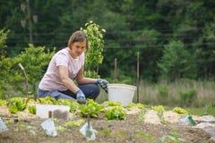 Woman gardener planting salad and mulching it Royalty Free Stock Image